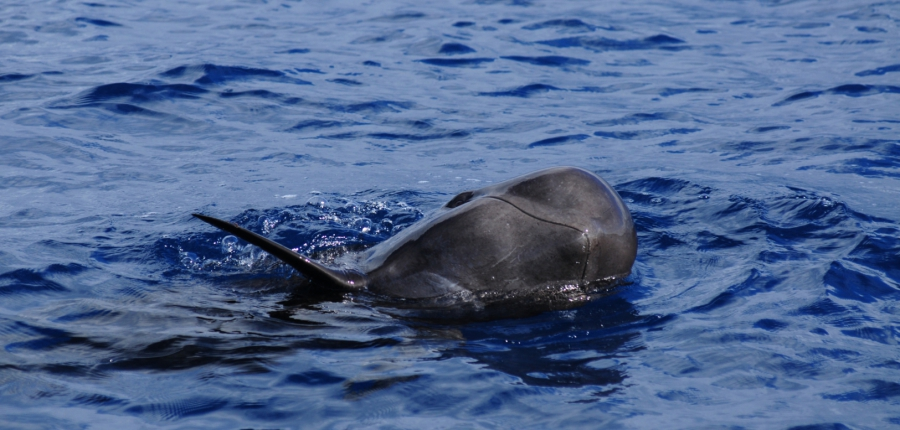 Avistamiento ballenas Tenerife